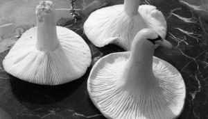 mushroom-swan